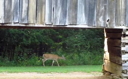 beautiful deer in cades-cove mountains