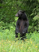 As you move about Smoky Mountain Heartsong, you'll find a page dedicated to the Smoky Mountain Black Bear.