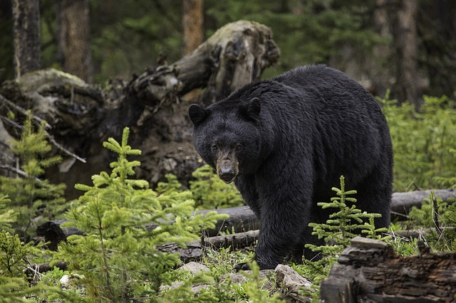 Plan your trip to include seeing wildlife like this Smoky Mountain vacation bear!