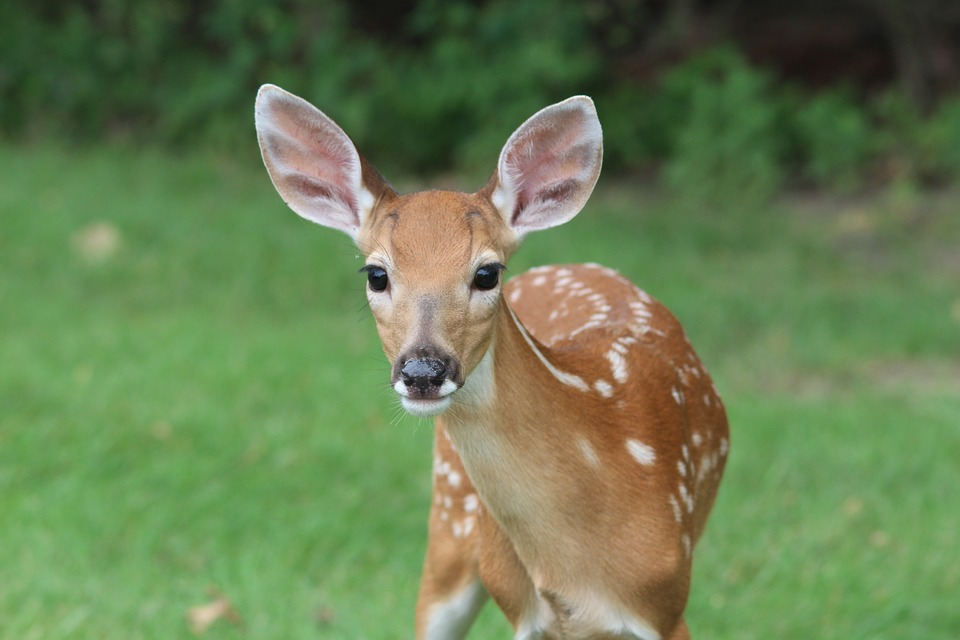 This Cades Cove Bus Tour Deer is waiting for you to come see him!