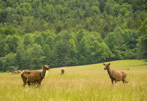 The Cataloochee fields are filled with Elk