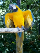 This Parrot Mountain Bird with fluttered wings is ready for a fun day in the Smokies with you!