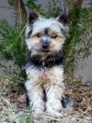 This pet boarding Yorkie loves visiting the Great Smoky Mountains!