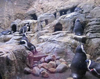 This Ripley's Aquarium Lagoon offers plenty of play space for the Penguins