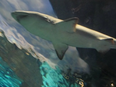 Experience a Ripley's Aquarium Shark swimming over your head!