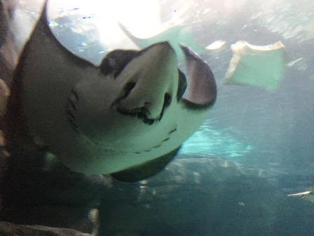 A Ripley's Aquarium Stingray waiting for you to come and play!