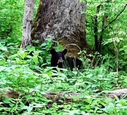 During Wilderness Wildlife Week Little Smoky the bear was playing along with his mom and a sibling along the road.