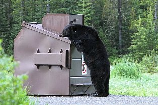 For the Black Bear trash can be a big problem!