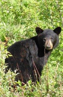 Index Bear